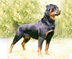 Interesting Facts About the Rottweiler
