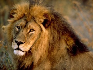 The most interesting facts about lions
